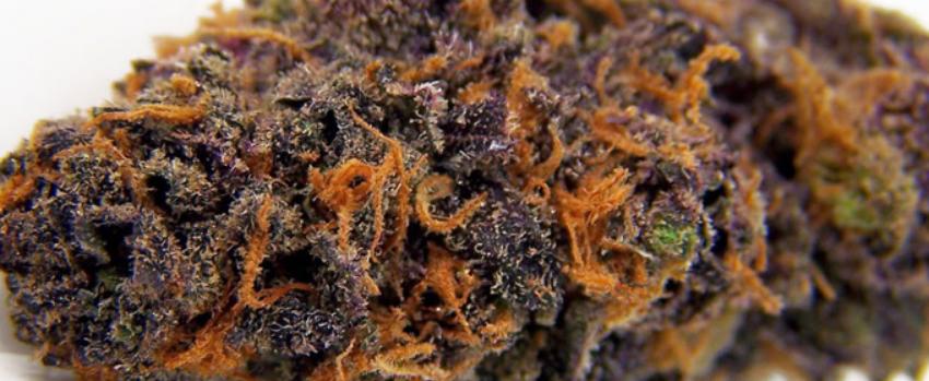 Purple Kush Growing