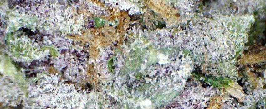Purple Kush Odor and Flavors