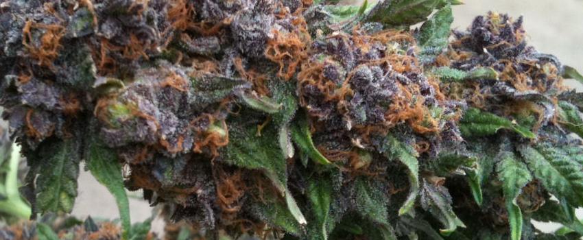 Purple Kush Effects