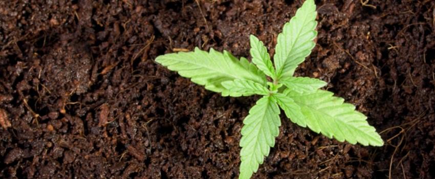 How to Grow Cannabis in California