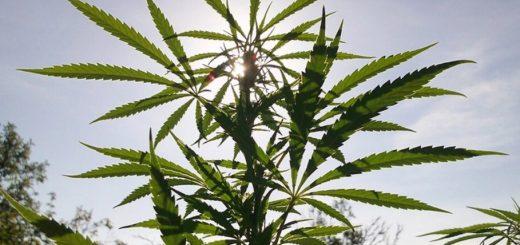 How to Use a Marijuana Grow Calendar for Sunny Places
