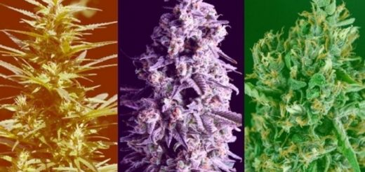 List of Cannabis Hybrids for Different Purposes