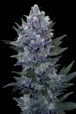 Royal Queen Seeds Northern Light Auto Feminized Marijuana Seeds