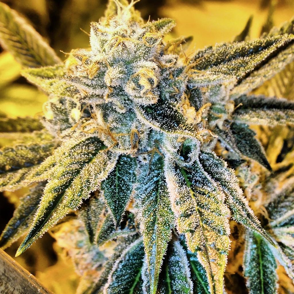 Rare Dankness Seeds Cornbread Cannabis Seeds Pot Seeds